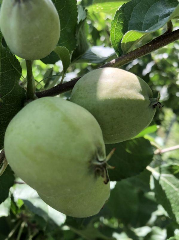 スクスク育つりんごの実