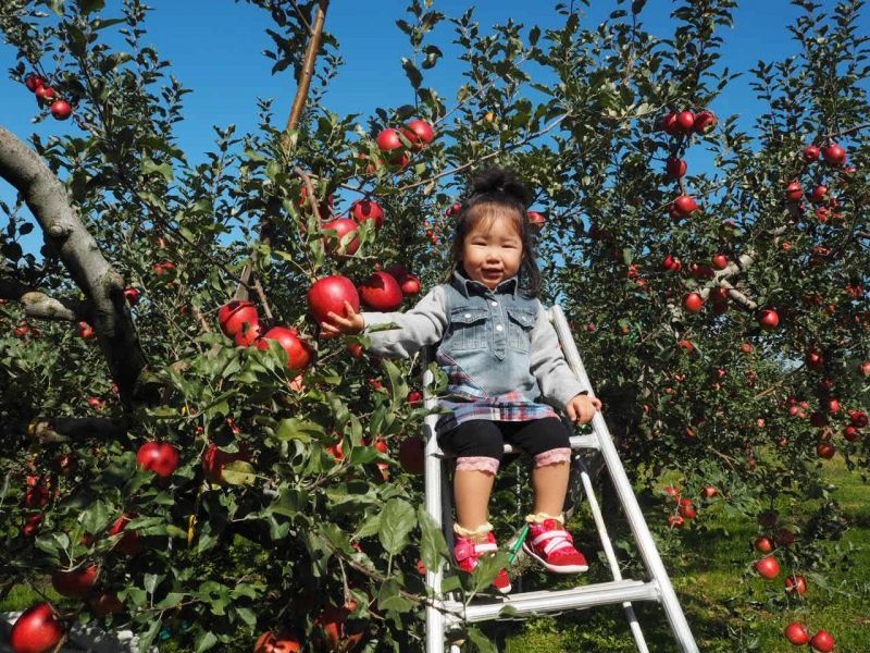 今年度のりんごの発送が始まりました