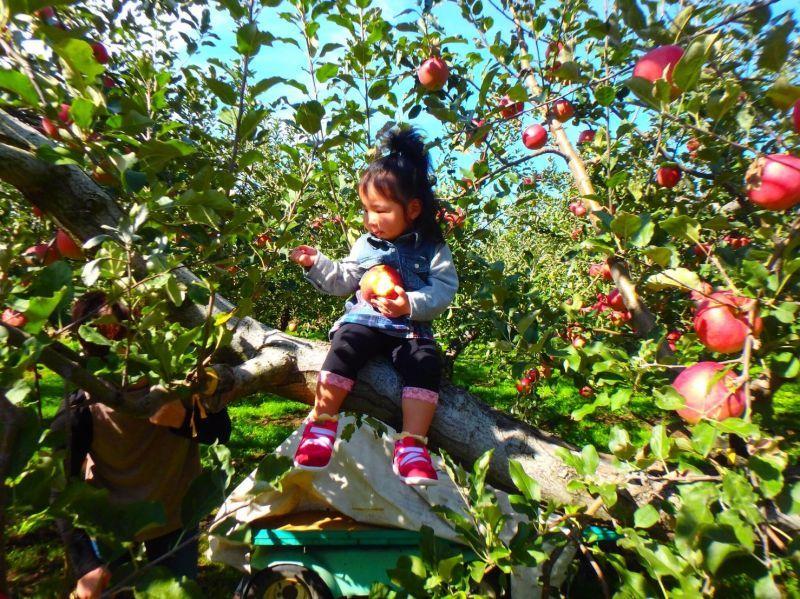りんごの収穫が始まりました